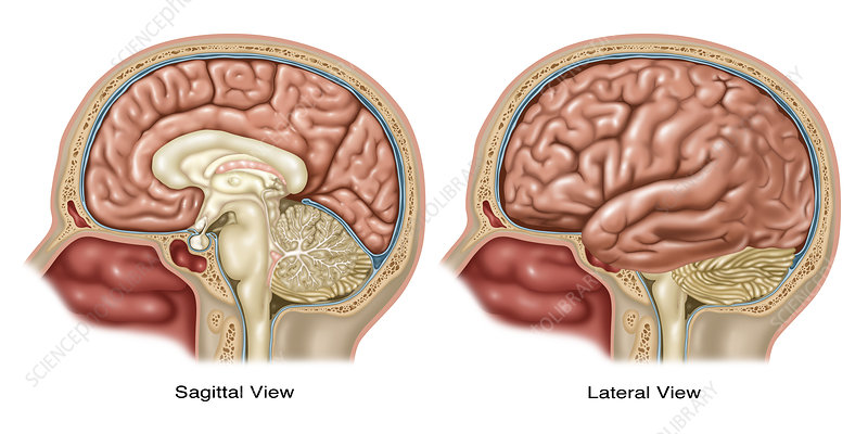 Brain, Sagittal and Lateral Views - Stock Image C030/5818 - Science ...