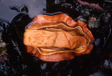 Giant Pacific Chiton