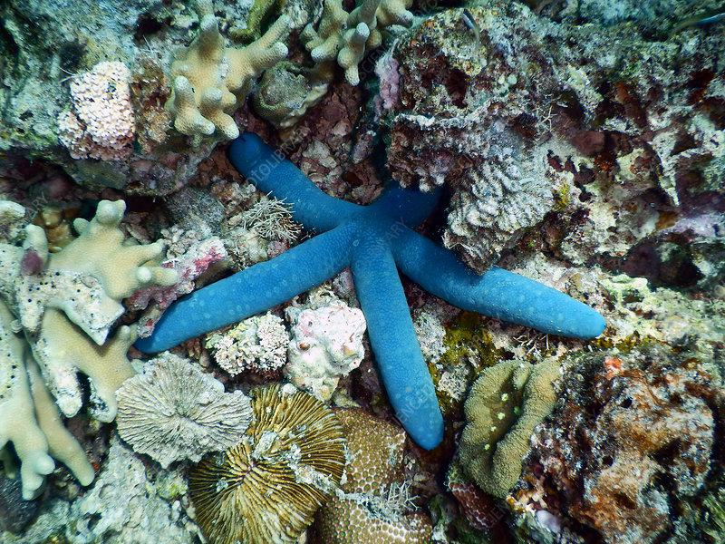Blue Sea Starfish