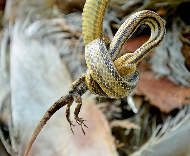 Rat Snake Eats Anole