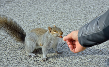 Grey Squirrel eats almond