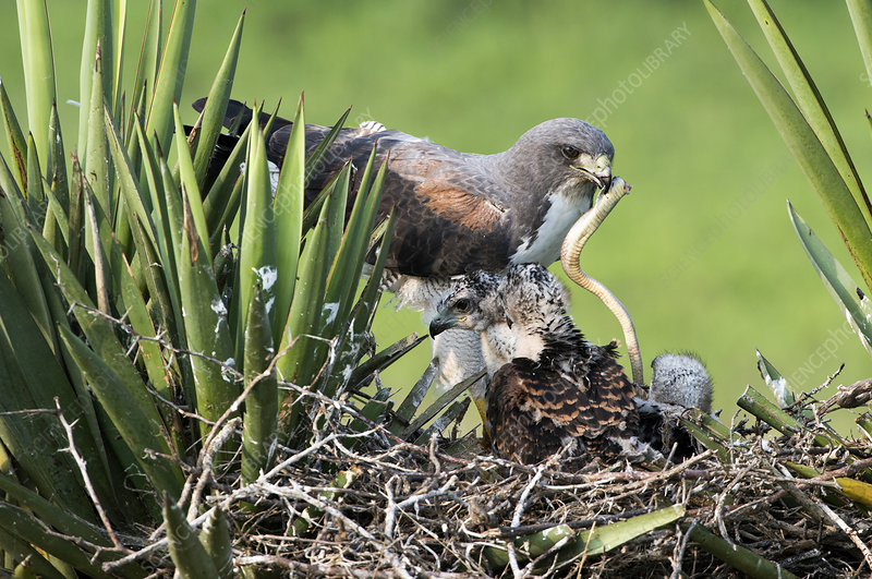 White-tailed Hawk with Snake