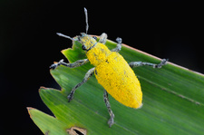 Pollen Covered Weevil