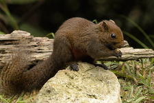 Pallas' Squirrel