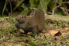 Grey-Bellied Squirrel eating