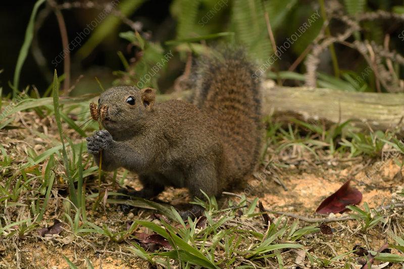 Grey-Bellied Squirrel eating