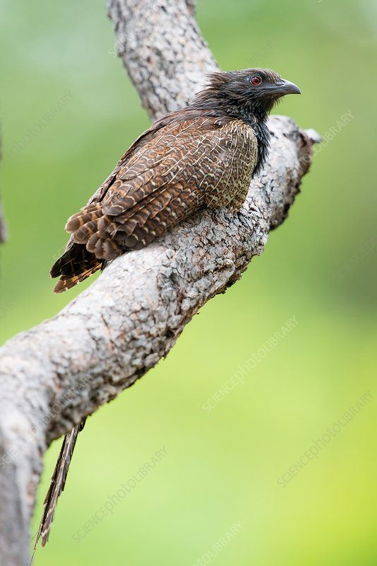 Pheasant Coucal (Centropus phasianinus)