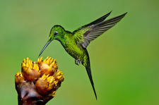 Empress Brilliant Hummingbird