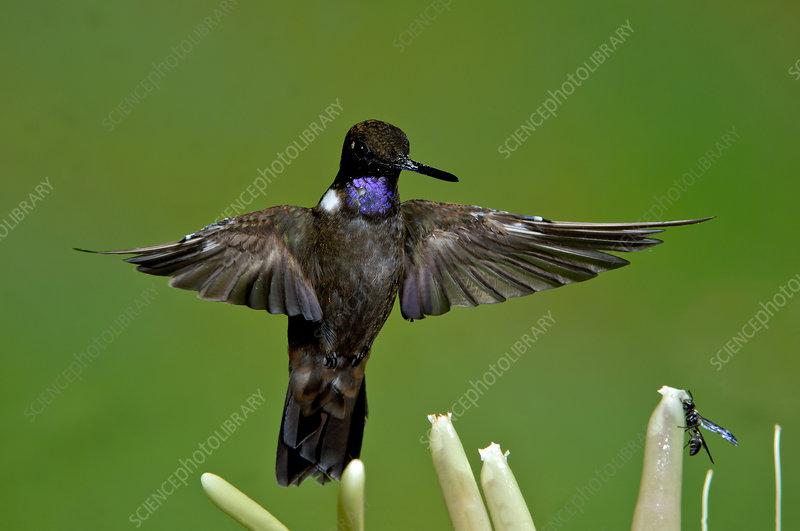 Brown inca Hummingbird