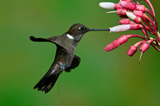 Brown Inca Hummingbird