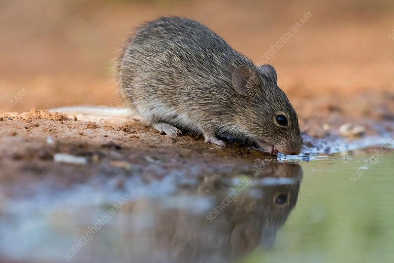 Tawny-bellied Cotton Rat