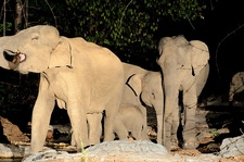 Group of Wild Asian Elephants