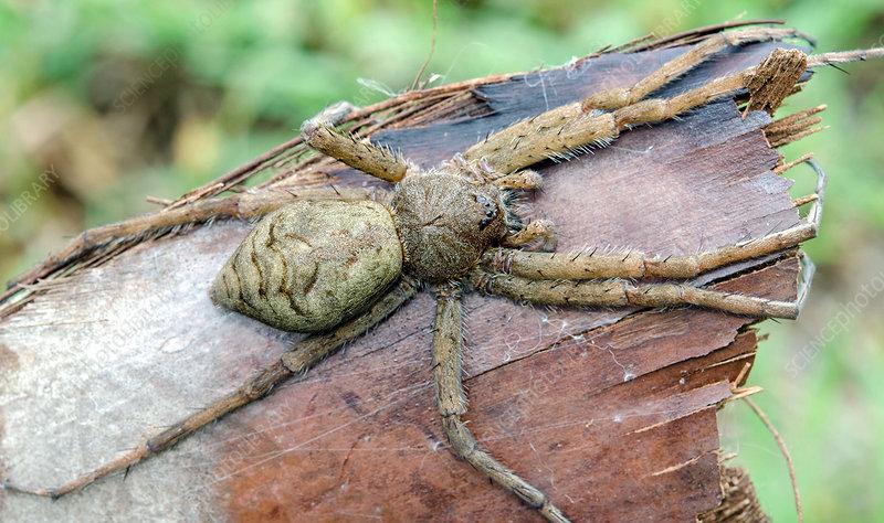 Whitish Fishing Spider