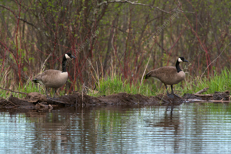 Canada Geese on Beaver Dam