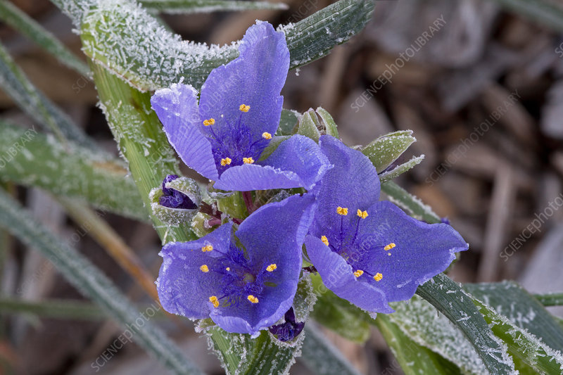 Frosty Ohio Spiderwort