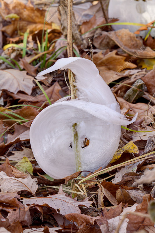 Frost Flowers in late autumn