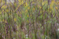 Wood Reedgrass