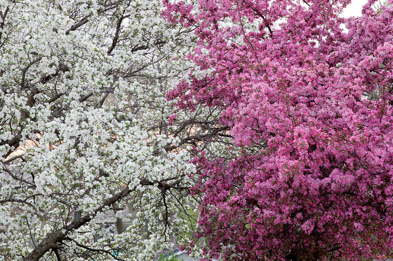 Bradford Pear and Crabapple Trees