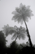 Misty Tree Ferns
