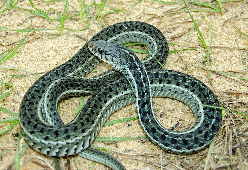 Eastern Garter Snake, chequered form