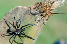 Southern Crevice Spider, male and female