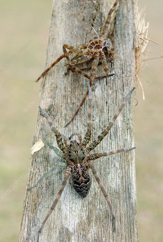 Fishing Spider with regenerated legs