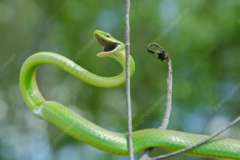 Rough Green Snake in Defensive Posture