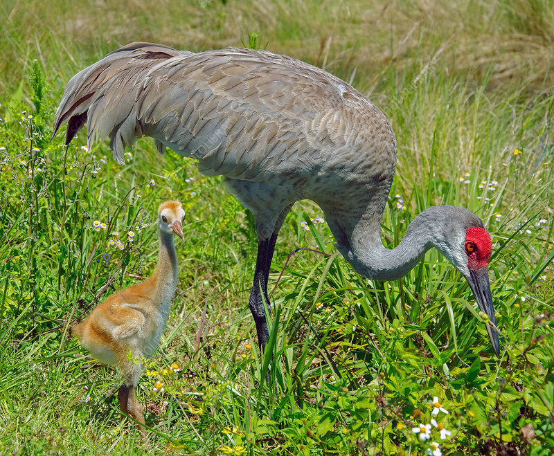 Florida Sandhill Crane with Colt (chick)