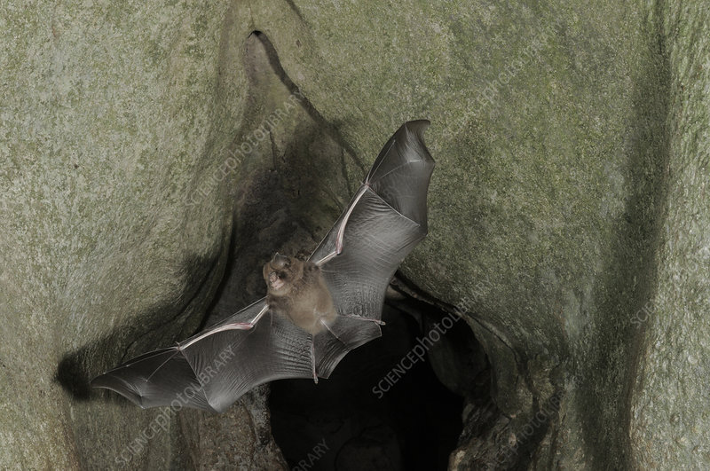 Cantor's Roundleaf bat in Flight
