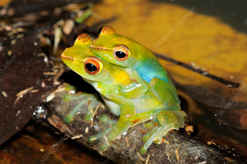 Jade tree frogs Mating
