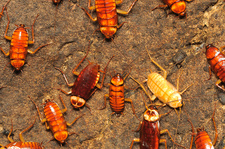 Cave cockroaches, Malaysia