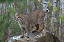 Bobcat in Boreal Forest