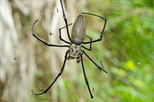 Giant Golden Silk Spider