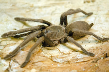 North Queensland Tarantula