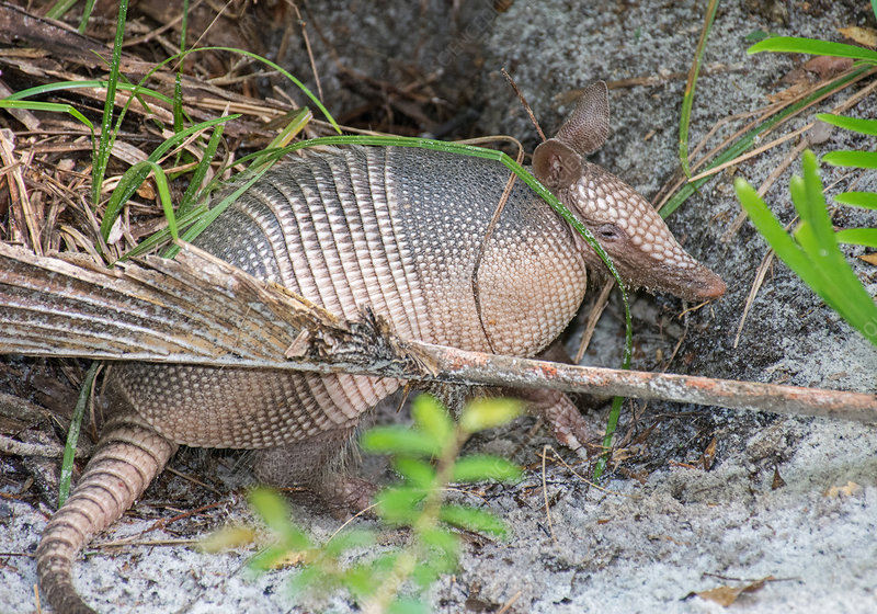 Nine-banded Armadillo at burrow