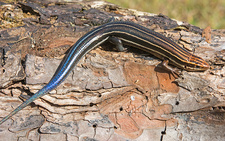Southeastern 5-lined Skink