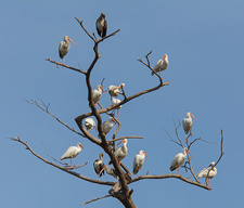 White Ibises at roost