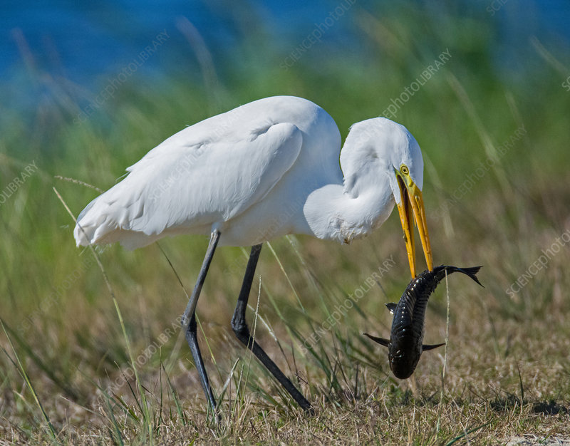 Great Egret eating catfish