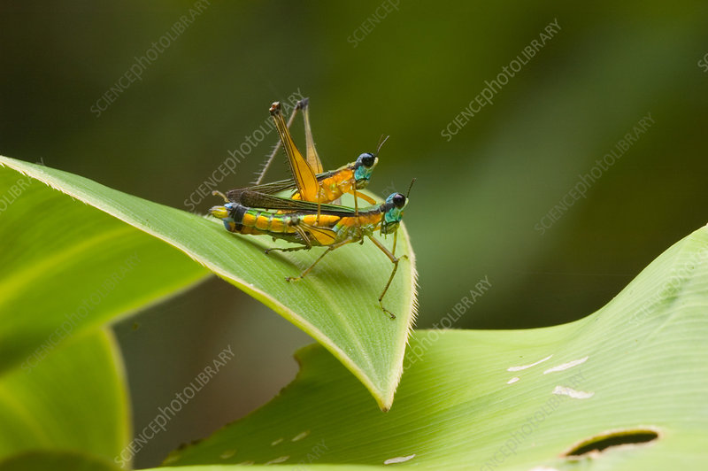 Airplane Grasshoppers