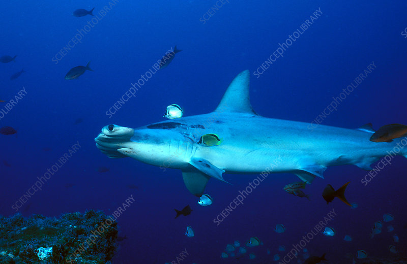 Hammerhead Shark at cleaning station