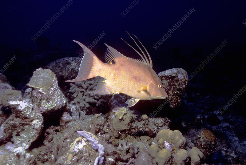 Hogfish displaying spines