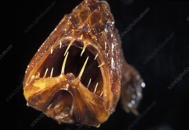 Fangtooth fish