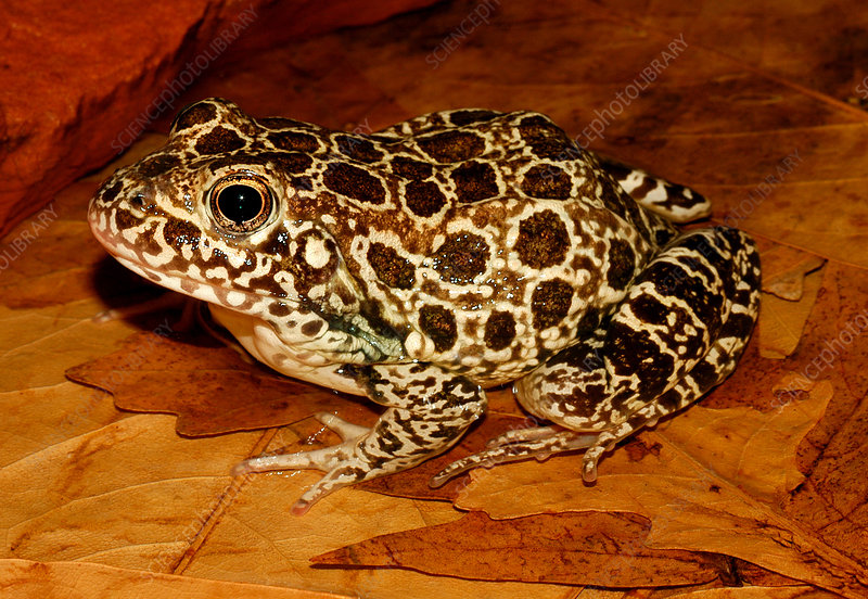 Crawfish Frog