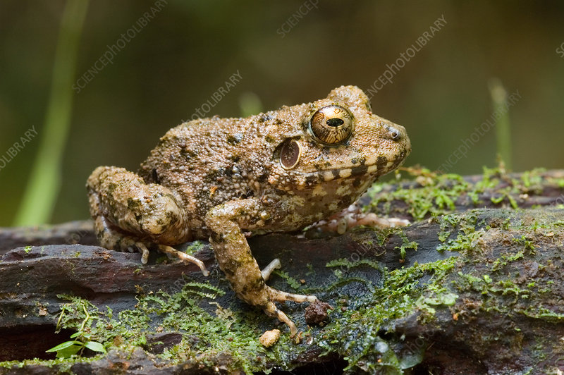 Common Big-headed Rain Frog