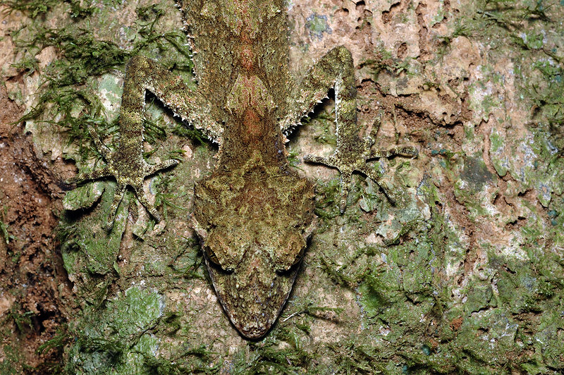 Northern Leaftail Gecko in camouflage
