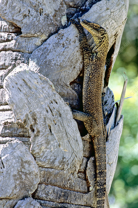Juvenile Komodo Dragon in tree