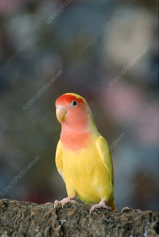 Lutino Lovebird - Stoc...