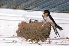 Barn Swallow at nest with young