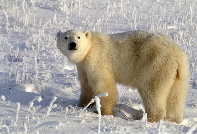 Polar bear (Ursus maritimus) on snow