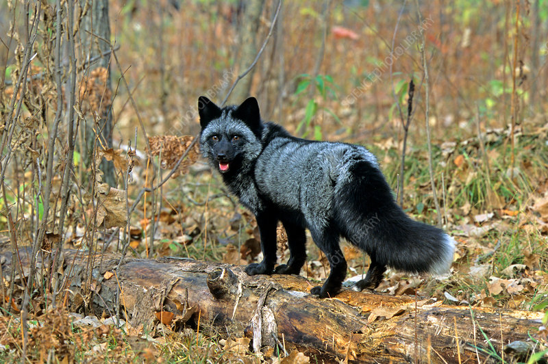 Silver-phase Red Fox